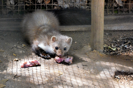 Portuguese stoat eating meat in a zoo