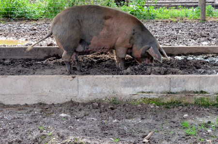 pigsty: Pig in pigsty