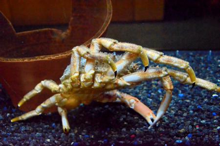 Spider crab near a broken vase