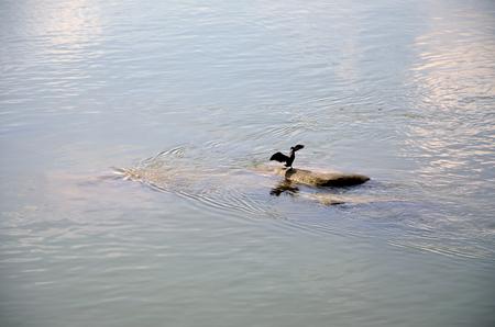 Cormorant over a rock Stock Photo