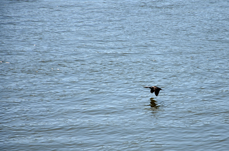 Cormorant flying over the river Stock Photo