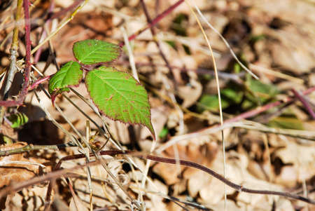 nervation: blackberry leaves on a dry background Stock Photo