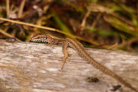 viviparous: lizard posing in a wood