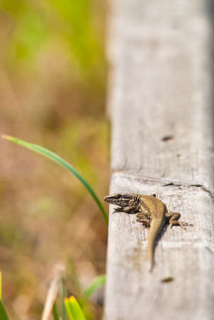 viviparous: Lizard on a wood looking at camera Stock Photo