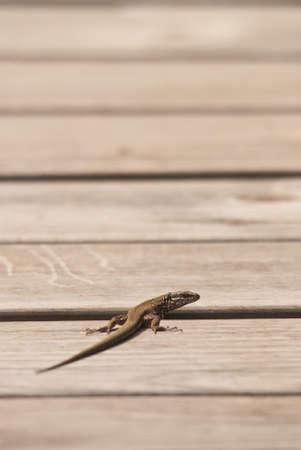 viviparous lizard: Lizard on a wood looking at camera Stock Photo