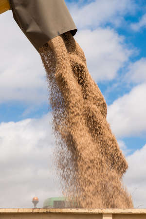 unloading: harvester unloading wheat in a trailer