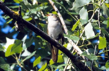 usignolo: Canto Nightingale appollaiato su un ramo.