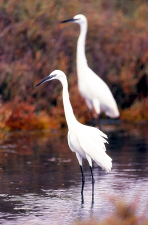 Egrets fishing in the salt. Stock Photo - 11916465