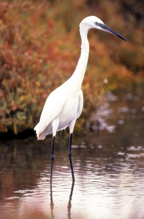 Common egret fishing in the salt. photo