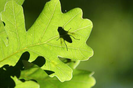 Fly on an oak leaf. Translucent as a silhouette Standard-Bild