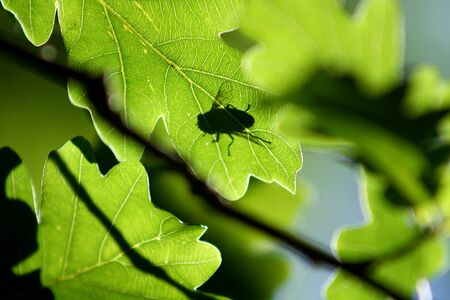 Fly on an oak leaf. Translucent as a silhouette