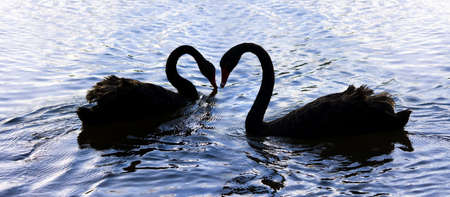 Silhouetted Elegance Is The Romantic Dance From Love Birds On Swan Lake Stock Photo - 11590887
