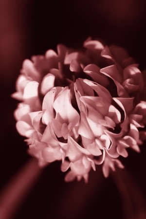 Sepia Of A Beautiful Floral White Clover Flower photo