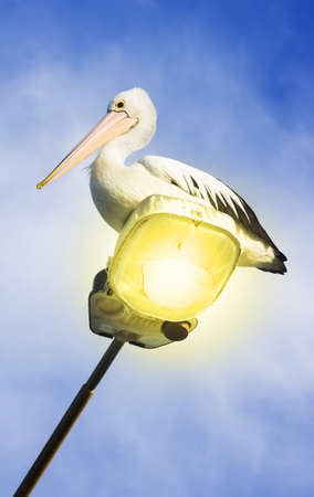 Whispy Blue Sky Lies Behind A Australian Pelican Sitting On A Beachfront Lamp Post Stock Photo - 11590079