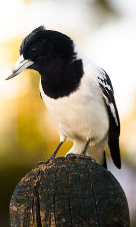 Magpie Bird Standing On A Wooden Farm Fencepost At A Rural Sunset Location With A Injured And Broken Beak In A Help Save And Protect Our Precious Wildlife Image Stock Photo - 11591222