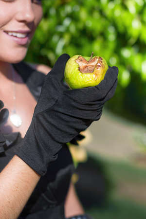 Rotten Fruit Concept With A Gloved Hand Of A Attractive Young Woman Holding A Rotten Apple Stock Photo - 13360388