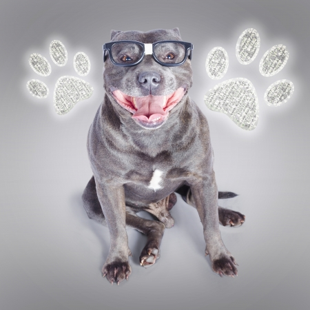 Geeky blue staffy dog standing in front of digital paw push buttons when gaining access to smart dog training Stock Photo - 19221110