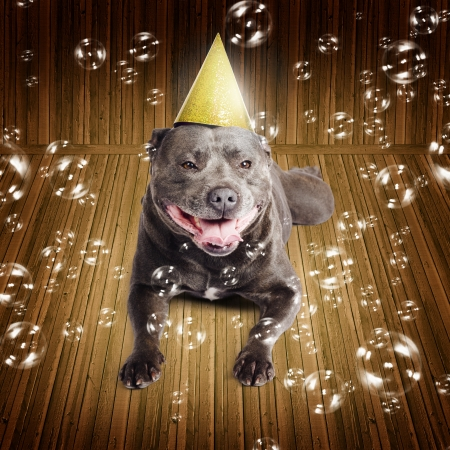 Partytime for a beautiful blue pedigreed staffordshire bull terrier dog on his birthday or New Year lying smiling on a wood floor wearing a conical party hat surrounded by iridescent floating bubbles photo