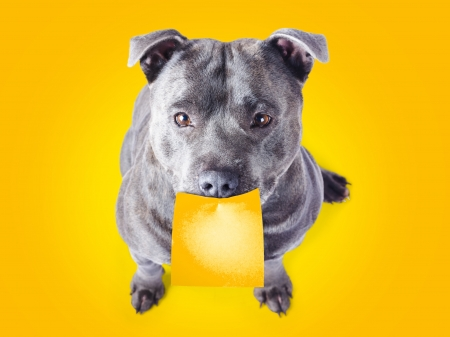 Cute imploring purebred blue staffordshire bull terrier with a blank sticky note with copysapce for your text stuck on his mouth looking up at the viewer with beseeching eyes on an orange background photo