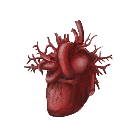 Digital painting illustration of a human heart organ hand drawn on white background. Human anatomy medical diagram illustration