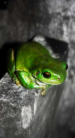 croak: Green Tree Frog Sitting On A Rural Fencepost At Twilight
