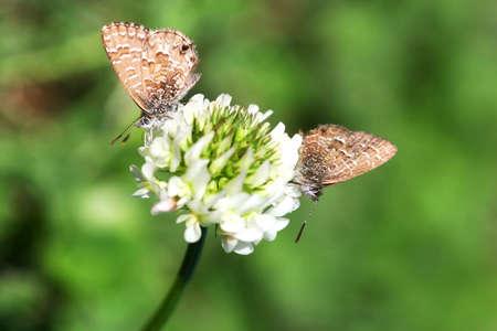 blissfully: Two Paired Moths Sitting Blissfully On Clover Flower