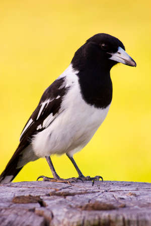 fencepost: Magpie Stands On The Top Of A Wooden Fencepost With A Golden Sunset In The Background