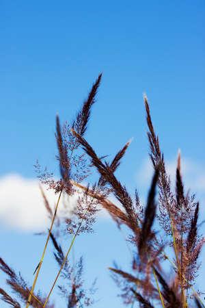 brisk: Grass Florets Sway In A Brisk Autumn Breeze