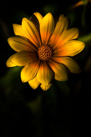 spring bud: Nature In Bloom With A Dark South African Gazania Flower With Yellow Petals And An Orange Bud Against A Black Background In A Beginning Of Spring Concept