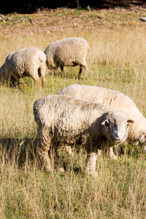 ewes: A Sheep Lift Its Head And Looks On With A Sheepish Stare On A Australian Farming Field Stock Photo