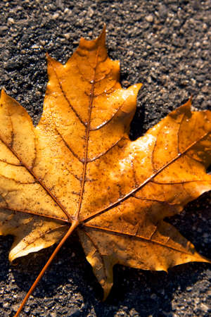 withering: Fallen From Summers Branches, The Golden Brown Maple Leaf Now Lies Withering On Autumns Dew Stained Road. A Road That Leads Only To Winter Stock Photo