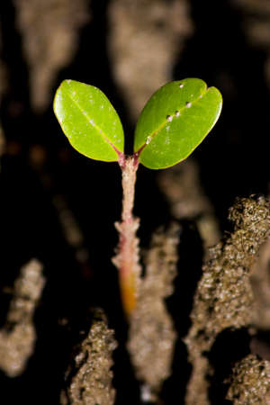 silty: A Baby Mangrove Sprouts Up With Two Green Leaves From The Ground Of A Silty Tropical Salt Water Wetland