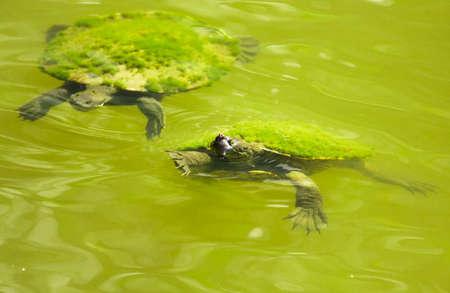 agachado: Turtles Ducking And Swimming In A Vivid Green Lagoon Foto de archivo