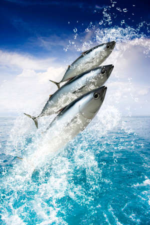 tuna: Three Fish Splash Out Of A Pristine Aquatic Ocean While Water Droplets Spray Skywards In A Holiday And Getaway Concept Stock Photo