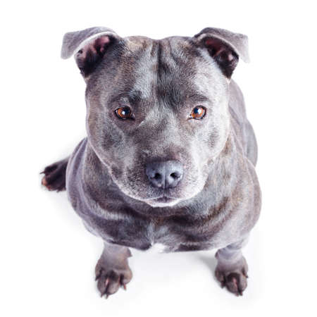 stafford: Staffordshire Bull Terrier or Stafford, Staffie, Staffy or Staff, looking up and isolated