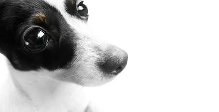 wide eyed: Mini Fox Terrier Dog With A Wide Eyed Look Of Bewilderment