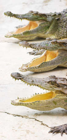 reversal: Three Crocodiles Sing With Their Mouths Wide Open While In Reversal For The Crocodile Choir