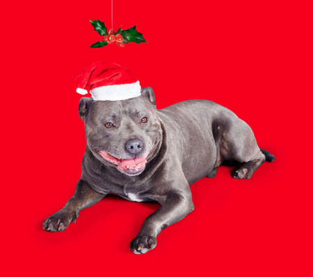 Celebrating Christmas with a blue staffordshire bull terrior dog wearing a red Santa Claus hat lying under a symbolic spray of colourful holly with berries on a red background