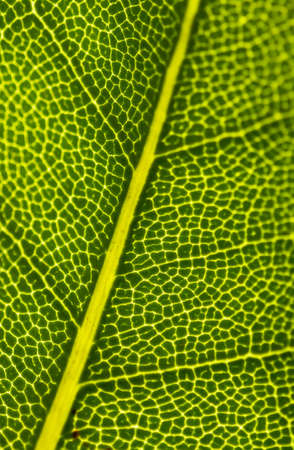 fine lines: Light Shines Through The Fine Lines That Expand Over A Green Tree Leaf Stock Photo