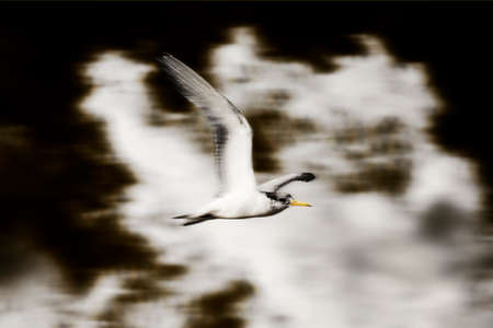 swoop: With Grace A Crested Tern Bird Soars Above In A Cloudy Sky In Search