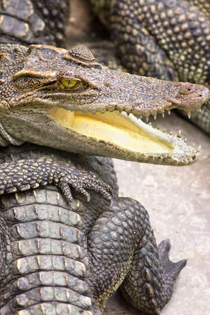 mouthed: Group Of Crocodiles With Open Mouthed One In Foreground Stock Photo