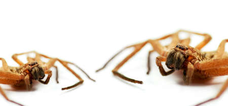 longlegs: Its a Battle Of David And Goliath Proportions With Little Daddy Longlegs Taking On Big Daddy Longlegs