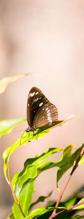 decides: A Butterfly Decides To Take A Break On A Vivid Green Leaf, During A Flight Through A Tropical Rainforest Stock Photo