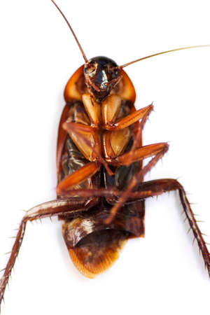 disease control: A Disease Carrying Cockroach Lies Dead On Its Back, Killed By Pest Control Stock Photo