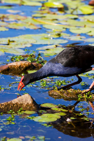 coot: Red Billed Coot Fishing For A Feed Stock Photo