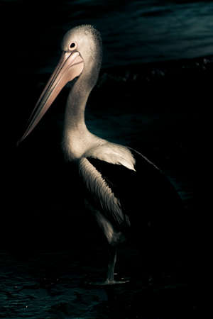 contemplates: A Pelican Stands At The Waters Edge During Night