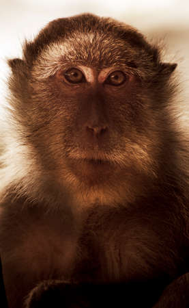mesmerized: Long Tail Macaque Monkey Stares Mesmerised Straight On Through