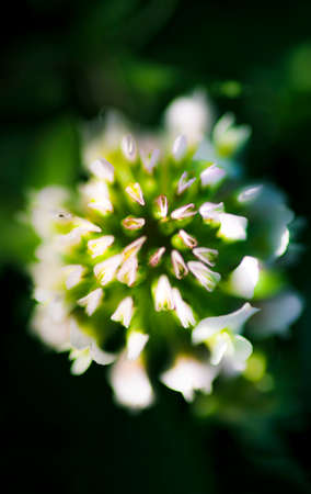 grassy: Top Down View On A Head Of A Blossoming Clover Flower Blooming In A Grassy Meadow