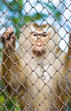 locked up: A Monkey Looks Down While Being Locked Up Behind Bars In Captivity Stock Photo
