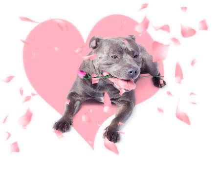 puppy love: Romántica llevar perro rosa rosa en la boca al dar el regalo de amor en el día de San Valentín. concepto de amor adolescente Foto de archivo